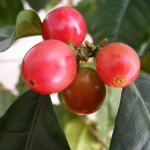 koffie weetjes koffie vrucht