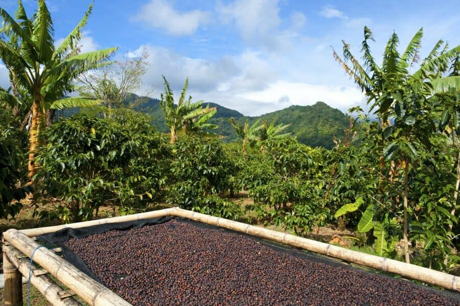 Mycotoxinen en koffie