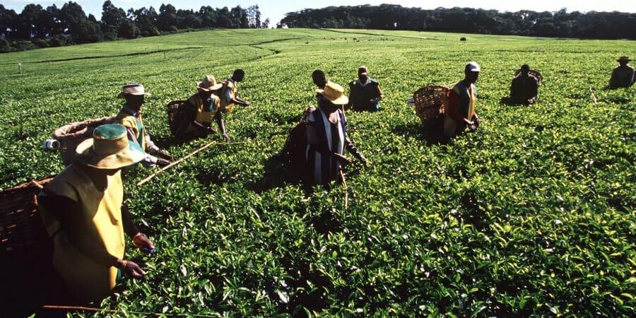 Boeren Keniaanse koffie