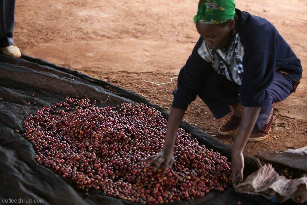 koffie bonen beste smaak keniaanse koffie
