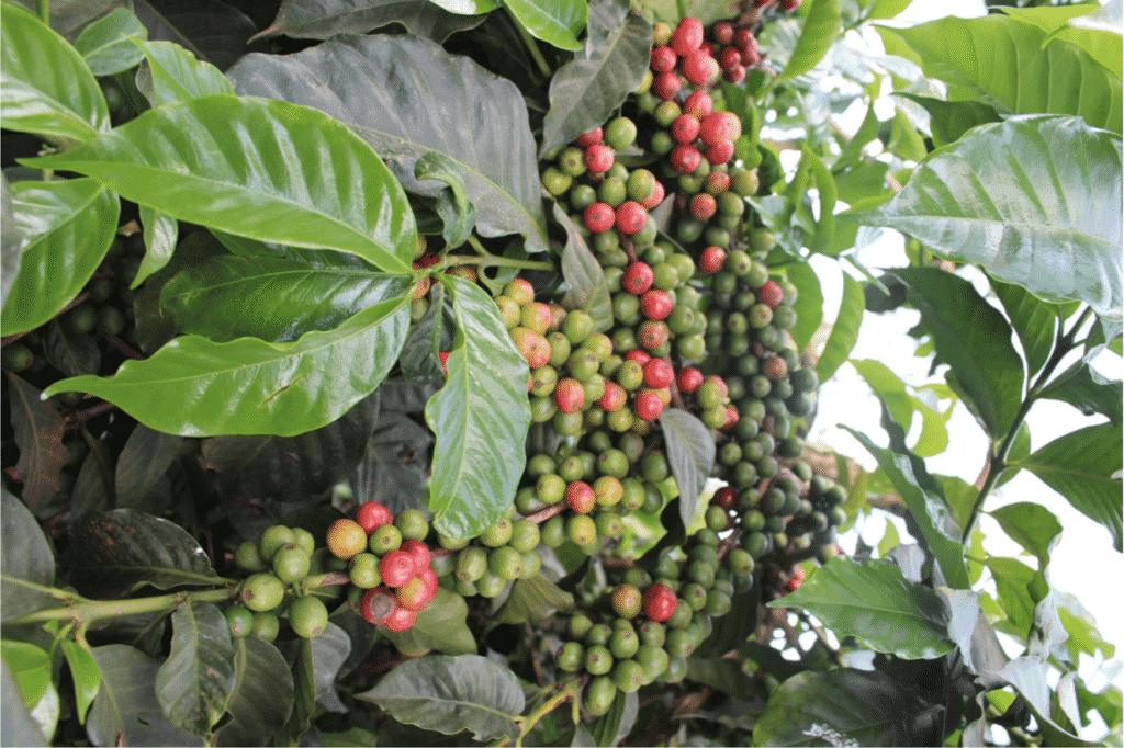 koffie uit kenia drinken