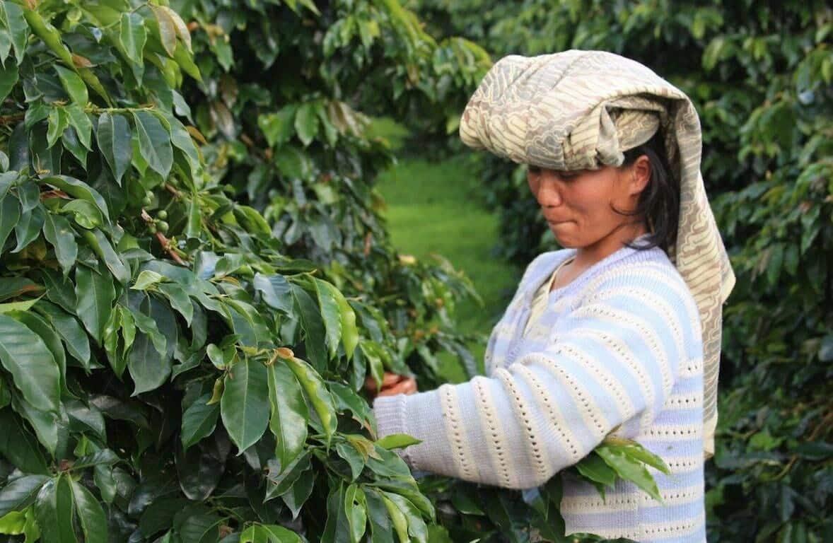 Koffieplukker Sumatraanse koffie