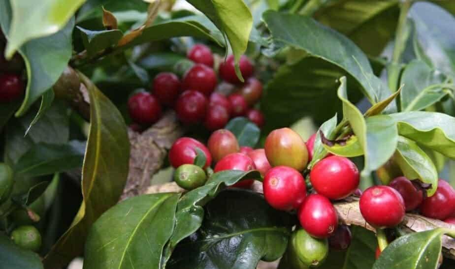 Sumatraanse koffiebes