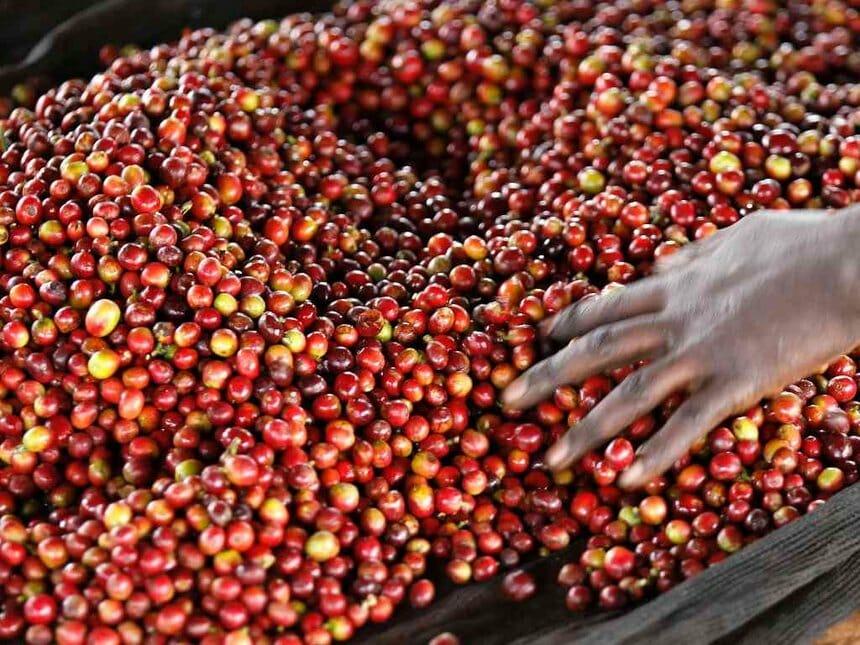 Verwerking Keniaanse koffie