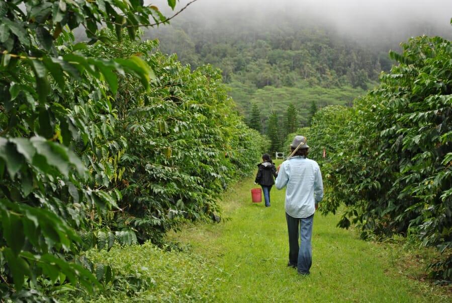 Hawaïaanse koffie