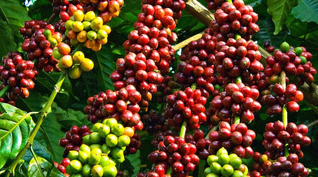 koffiebessen bonen