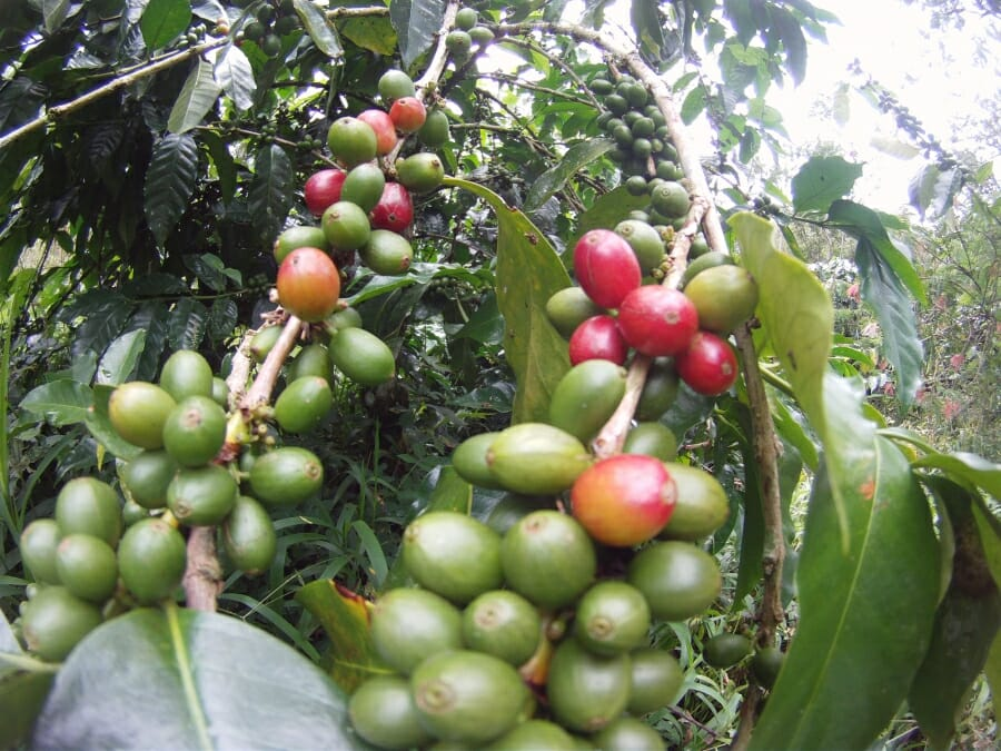 Sulawesi-koffiebes