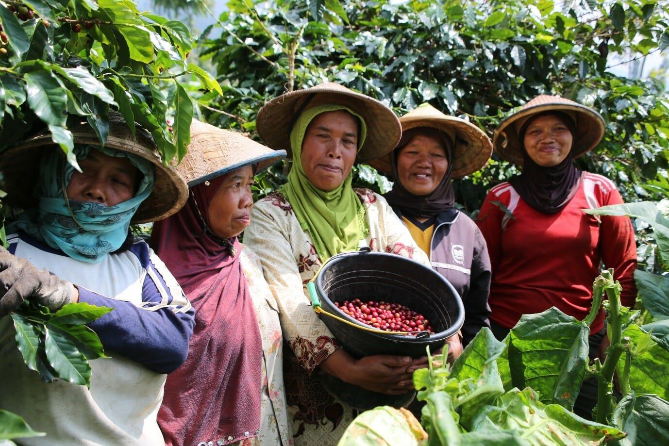 Sulawesi-koffieplukkers