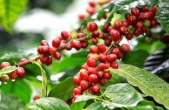 10 feiten over de koffieplant